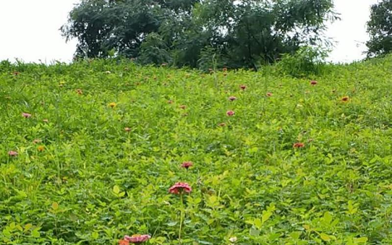 青岛矿山修复灌木和矮美人野花组合案例