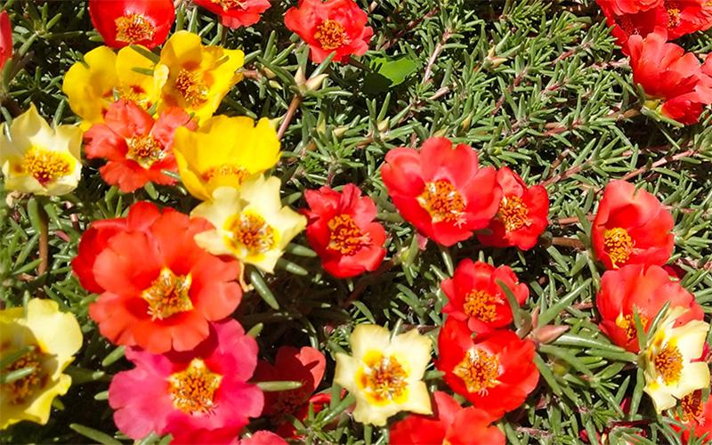 景观花卉种子